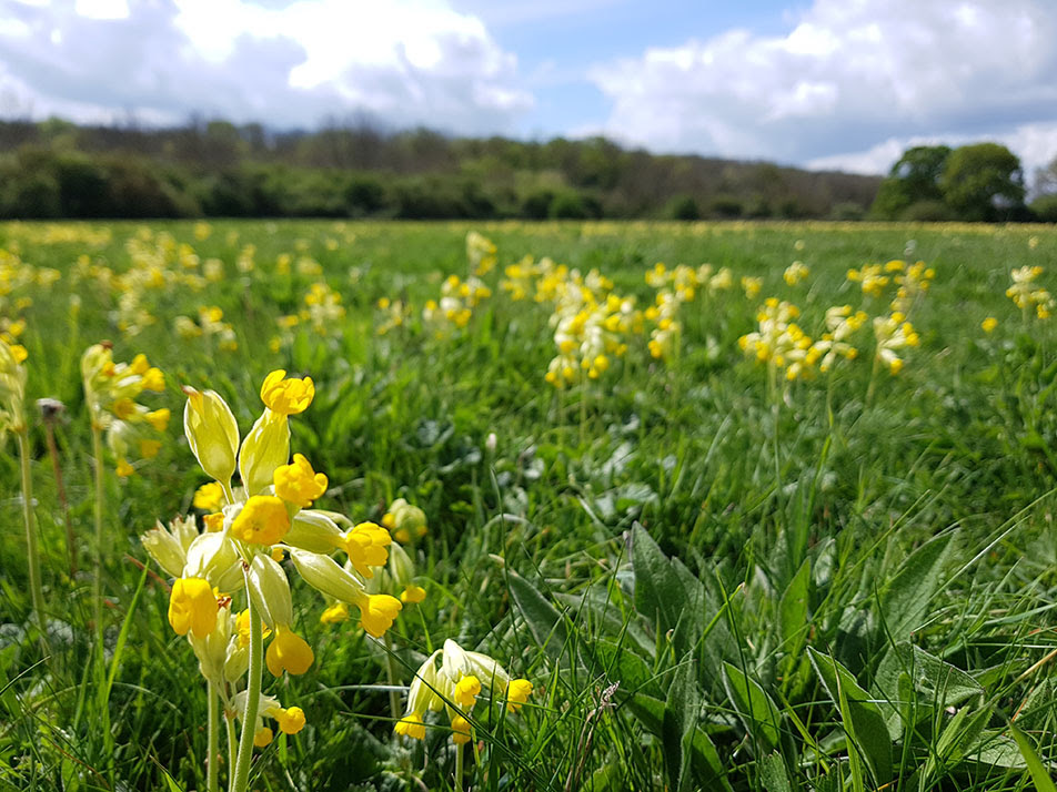 Cowslips near Houghton Conquest